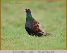pheasant-03.jpg