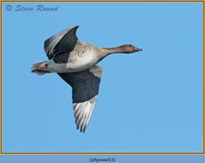 pink-footed-goose-53.jpg