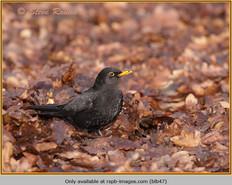 blackbird-47.jpg