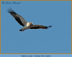 booted-eagle-04.jpg