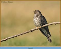 cuckoo-34.jpg
