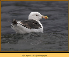 gt-b-backed-gull-07.jpg