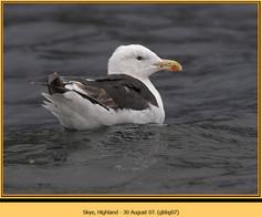 gt-b-backed-gull-07.jpg
