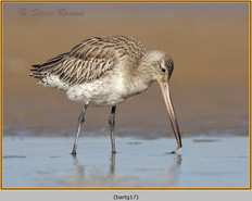 bar-tailed-godwit-17.jpg