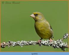 greenfinch-55.jpg