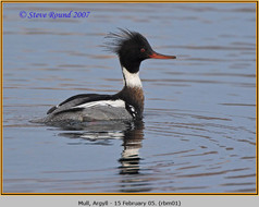 red-breasted-merganser-01.jpg