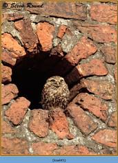 little-owl-45.jpg