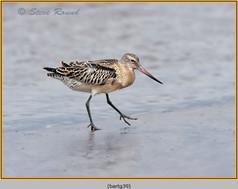 bar-tailed-godwit-39.jpg