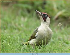 green-woodpecker-46.jpg
