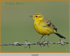 yellow-wagtail-18.jpg