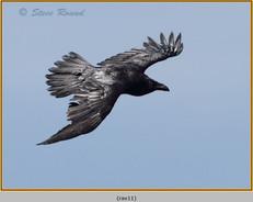raven-11.jpg