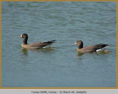 lesser-w-f-goose-06.jpg