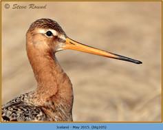 black-tailed-godwit-105.jpg