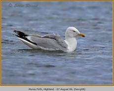 herring-gull-08.jpg