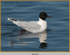 little-gull-35.jpg