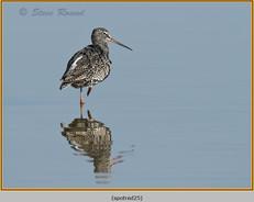 spotted-redshank-25.jpg