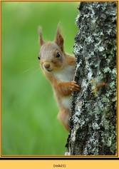 red-squirrel-21.jpg