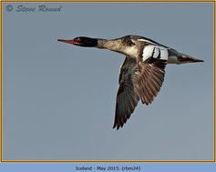 red-breasted-merganser-24.jpg