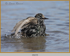 starling-23.jpg