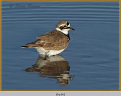 little-ringed-plover-16.jpg