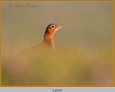 red-grouse-145.jpg