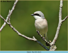 red-backed-shrike-13.jpg