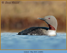 red-throated-diver- 85.jpg