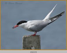 common-tern-13.jpg