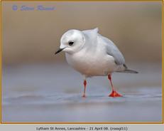 ross's-gull-11.jpg
