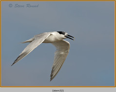 sandwich-tern-32.jpg