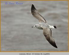 common-gull-09.jpg