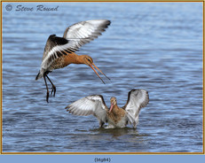 black-tailed-godwit- 84.jpg