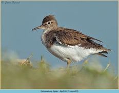 common-sandpiper-23.jpg