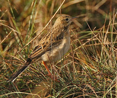 richards-pipit-07.jpg