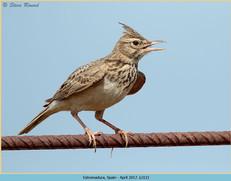 crested-lark-12.jpg