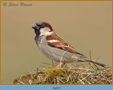 house-sparrow-57.jpg