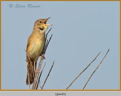 grasshopper-warbler-45.jpg