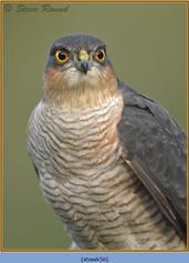sparrowhawk-56.jpg