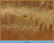 short-eared-owl-63.jpg