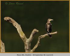 cormorant-14.jpg