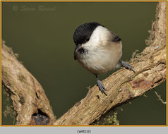willow-tit-10.jpg