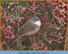 sardinian-warbler-16.jpg