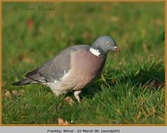 wood-pigeon-09.jpg