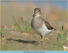 common-sandpiper-25.jpg