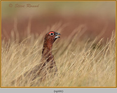 red-grouse-101.jpg