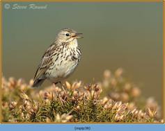 meadow-pipit-38.jpg