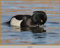 tufted-duck-35.jpg