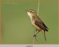 sedge-warbler-41.jpg