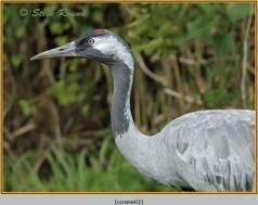 common-crane-02c.jpg