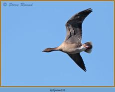 pink-footed-goose-63.jpg